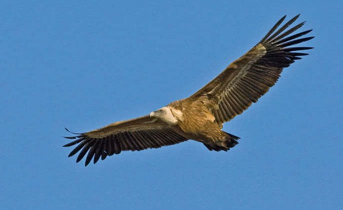 Soaring Higher Using the Griffon Vultures From the Selinary Stuff, Crete